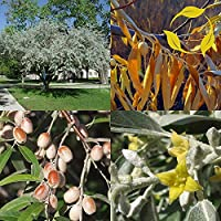 Silverberry Elaeagnusアングスティフォリアの種子