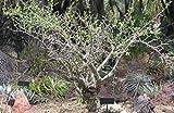 ブルセラ・ファガロイデス 種子10粒