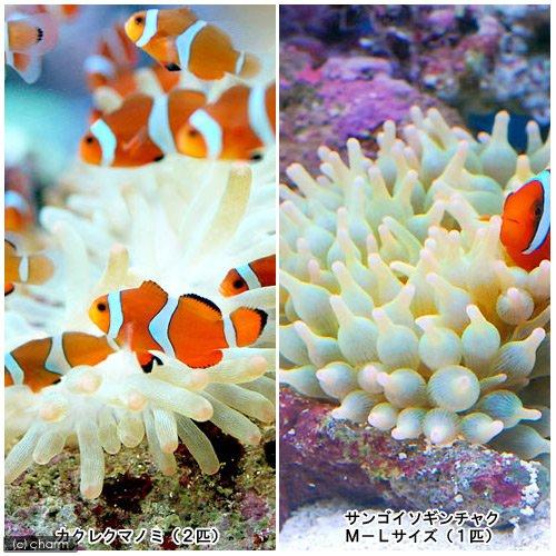 (海水魚)カクレクマノミ(2匹)+サンゴイソギンチャクセット 本州・四国限定[生体]