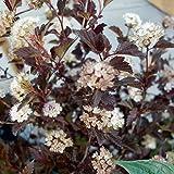 テマリシモツケ[フィソカルパス]:ディアボロ4号 2株セット[紫葉が美しいアメリカコデマリ] ノーブランド品
