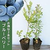 【2本セット】 ブルーベリー 2品種セット 樹高0.4m前後 13.5cmポット (ティフブルーとホームベルのセット) ラビットアイ 苗木 植木 苗 庭木