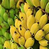 「ドワーフ・モンキーバナナの苗木(育てやすい矮性バナナ) 13.5cmポット大苗 1個売り」若木のうちから収穫できるおいしい矮性バナナ品種!!薄皮で柔らかく甘い小型バナナをご自宅で収穫できます。鉢植えでも十分楽しめます!とても実つきの良い品種で、葉