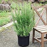 ボリューム有り ローズマリー 立性 鉢植え 観葉植物 苗 苗木 ハーブ 庭木 植木 ガーデニング