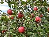 天皇賞受賞「信州安曇野産リンゴ」サクうま~の三ツ星☆☆☆りんご。高原が育てた香り、甘さが自慢の「のうかの手」安曇野産限定リンゴ7種 (サンふじ)