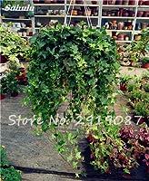 スワンズグリーン1:真珠葉緑素種子100個吊り下げタイプ茶色植物の鉢植え花植物屋内新鮮な空気ホームガーデン耐寒性1