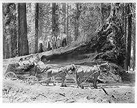 ヨセミテNature Photo Giant Fallen Wawonaツリー写真8x 10