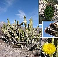 発芽SEEDSだけでなくPLANTS:Corryoショート - Sancayo/Guacalla、10セミ