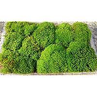 【盆栽用 スナゴケ 22×14パック 】盆景 盆栽 テラリウム等