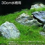 (水草 熱帯魚)30cm水槽用 草原風レイアウト(ヘアーグラスショート&風山石) 素材セット 本州・四国限定[生体]