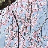 桜 苗木 吉野しだれ桜 12cmポット苗 さくら 苗