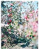 林檎の木 画像