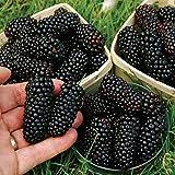 Aprettysunny 100Pcs Nutritious Giant Blackberry Raspberry Mulberry Seeds Garden Plants
