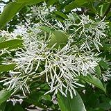 イッサイヒトツバタゴ樹高1.5m根巻き[一才ひとつばたご 春に白い花を咲かせる人気の花木]