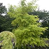 ニセアカシア(ロビニア):フリーシア6号ポット[黄金葉の美しい庭園樹!] ノーブランド品