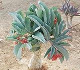 珍奇植物 キフォステンマ・ユッタエ 種子10粒