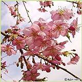 桜(サクラ)苗木 河津桜