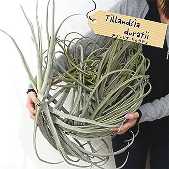エアープランツ チランジア ドゥラティ ジャイアント 現品販売 (観葉植物 エアプランツ)