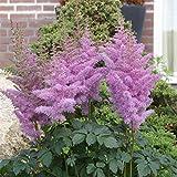 [大株仕立て]アスチルベ:ハートアンドソウル5号ポット[珍しい藤色の花のアスチルベ] ノーブランド品