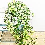 ヘデラ アイビー ヘリックス 吊り鉢 観葉植物 中型 インテリア
