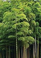JPロンドンuStrip Peel and Stick Mural md4115ps有機竹フォレストグリーン木完全に取り外し可能アクセント壁画、8.5-feet by 1.83メートル