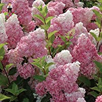 SEEDS:家庭菜園の作付けのための20枚/パック盆栽美しい屋内または屋外の鉢植え:グリーン