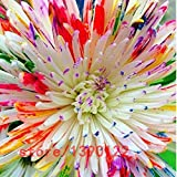 100本/袋虹デイジー、デイジーの種、虹の菊、盆栽の花の種、家庭菜園のための自然な美しい鉢植え