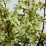 トキワマンサク:白花青葉6号ポット[庭木・生垣に人気の常緑小高木] ノーブランド品