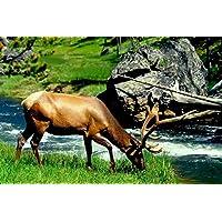 エルク動物 - #24993 - キャンバス印刷アートポスター 写真 部屋インテリア絵画 ポスター 90cmx60cm