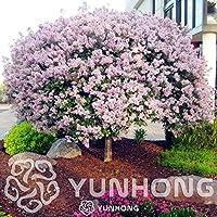 SEEDS:MIX:100個クローブ盆栽は、簡単に家の庭のために(非常に香り)工場では盆栽植物成長します