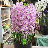Amazon.co.jp蘭の花 デンドロビューム陶器鉢植え 「ピンク」 退職や昇進などのお祝いや誕生日プレゼント オープンや開業祝いに