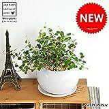 LAND PLANTS 【観葉植物】 ワイヤープランツ (白色丸型陶器)