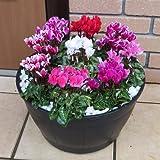 ガーデンシクラメン 素敵な寄せ植えBIGサイズ 高規格シクラメンを9株寄せ植えした完成品。 玄関先にドカンと飾ってください。初夏まで楽しめますよ!*お届け先によっては別途送料がかかる場合があります