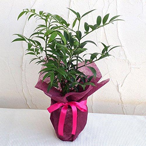 [ギフトに]梛(ナギ)の木4号陶器鉢植え・ラッピング付き ノ...