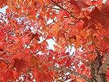 【1年間枯れ保証】【シンボルツリー落葉】モミジバフウ 2.0m