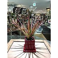 送料無料 ドラセナ コンシンネ 観葉植物 鉢植え 陶器 マジナータ 風水 インテリア 北欧 おしゃれ ギフト お祝い ヴィヴィドレッドポット