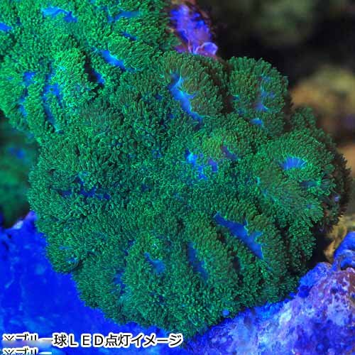 (海水魚 サンゴ)沖縄産 ディスクコーラル ディープグリーン シングル(1個) 本州・四国限定[生体]
