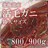 活毛ガニ 特大サイズ 北海道産 800-900g/杯 【築地直送】毛蟹 カニ かに 鮮魚