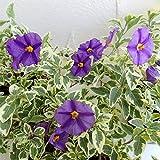ソラナム:ラントネッティ バリエガータ(斑入葉)3号4株セット[夏開花のつる性斑入り植物] ノーブランド品