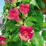 アサリナ:グラリオローズ3.5号ポット 2株セット[花咲くグリーンカーテンに] ノーブランド品