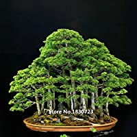10 Samen/pack Wacholder Bonsai-Baum-Samen Topfblumen Büro Bonsai reinigen die Luft absorbieren schädliche Gase
