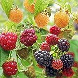 木いちごの苗人気3種セット(ボイソンベリー・インディアンサマー・ファールゴールド) ノーブランド品
