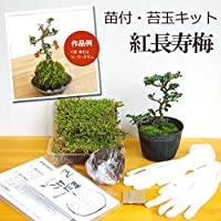 苔玉キット 苗つき 紅長寿梅