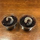 むしや本舗 ヘラクレスオオカブト (ヘラクレスヘラクレス)3令初期幼虫ペア [生体]