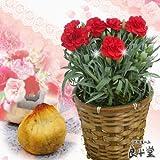 岐阜産カーネーション鉢6号(赤。レッド。ピンク) と 和栗の焼栗きんとん6ヶ 送料無料 母の日ギフト