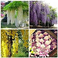 4色の藤の花盆栽、パープルイエローホワイトピンクの藤の種、40個入り各10個入り不思議