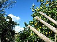 Lais Puzzle レモンの木の向こうの空 500 部