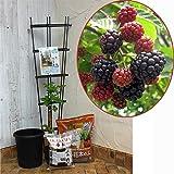 ホームフルーツの鉢栽培セット:ブラックベリー ボイソンベリー* ノーブランド品