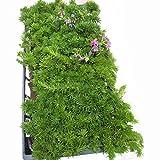 マット植物:シバザクラ ダニエルクッションのマット25cm×25cm 6枚セット[芝桜]