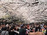 【6か月枯れ保証】【街路樹&公園樹】サクラ/ソメイヨシノ 1.2m 【即日発送対応】