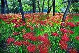 風景写真ポスター 埼玉 巾着田(きんちゃくだ)の曼珠沙華21-07 埼玉県日高市の巾着田は、日本一の曼珠沙華群生地。その数は何と約500万本。辺り一面はさながら深紅のカーペットです。曼珠沙華はサンスクリット語で「天界の花」。花言葉は「再会」「あきらめ」「哀しい思い出」「情熱」など。お好みの額に入れたり、ボードに貼ったりして飾ってください。 (A1 84.1×59.4cm)